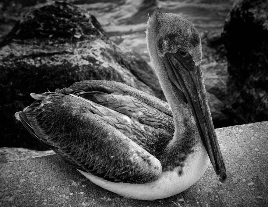 PELICAN-CLOSE-UPweb